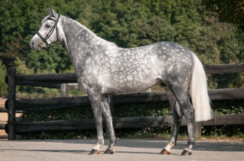 SIR BANI YAS! NEW TO STUD IN FRANCE FOR THE 2017 BREEDING SEASON